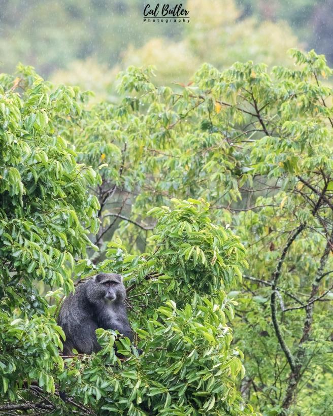 Samango Monkey-1