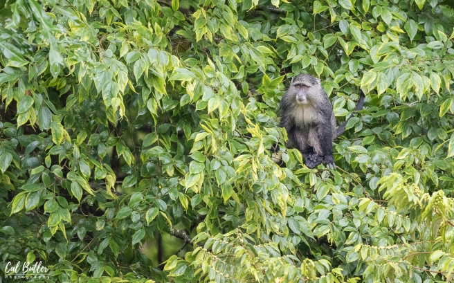 Samango Monkey-2