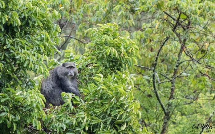Samango Monkey-3