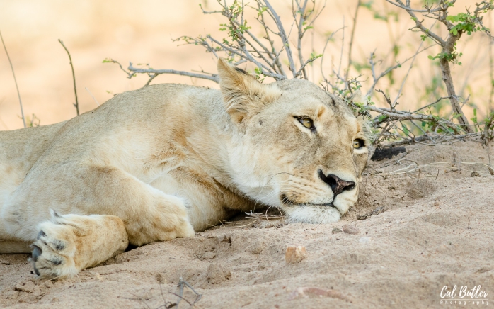 Timbavati Lions-2