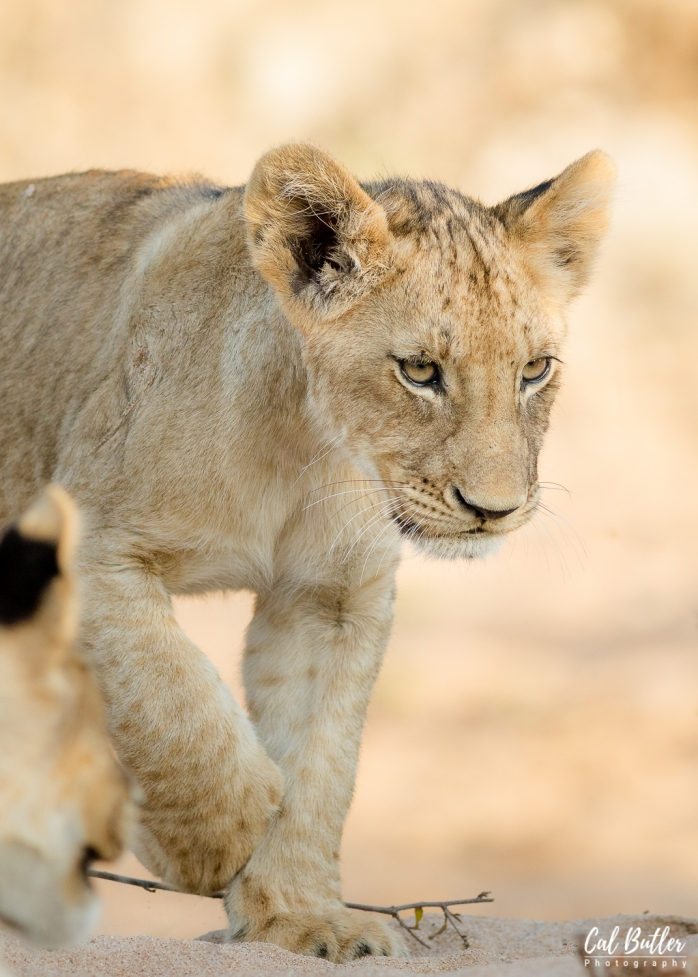 Timbavati Lions-3