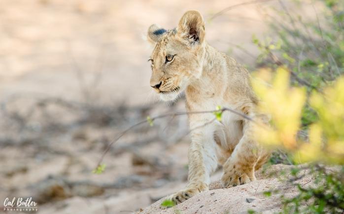 Timbavati Lions-4