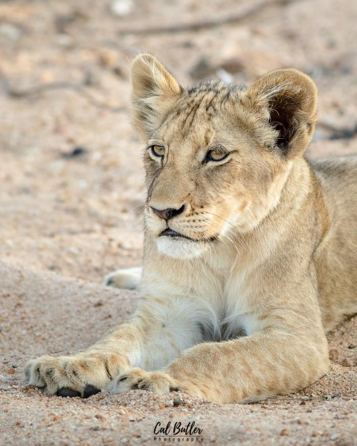 Timbavati Lions-5