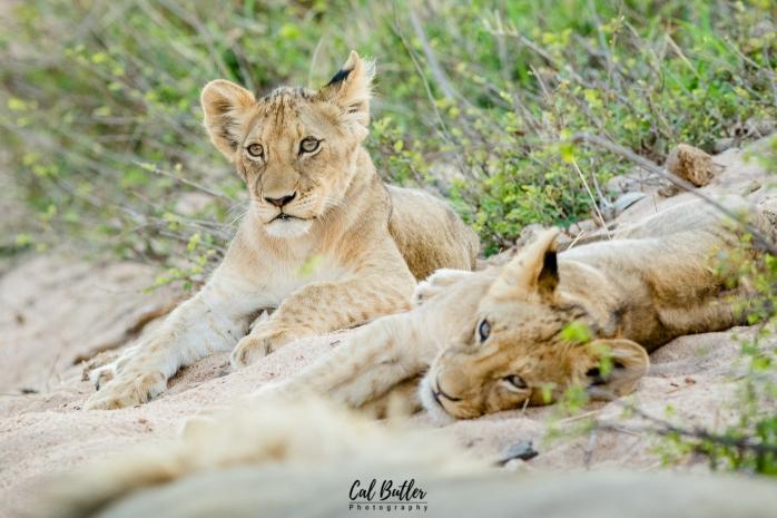 Timbavati Lions-6