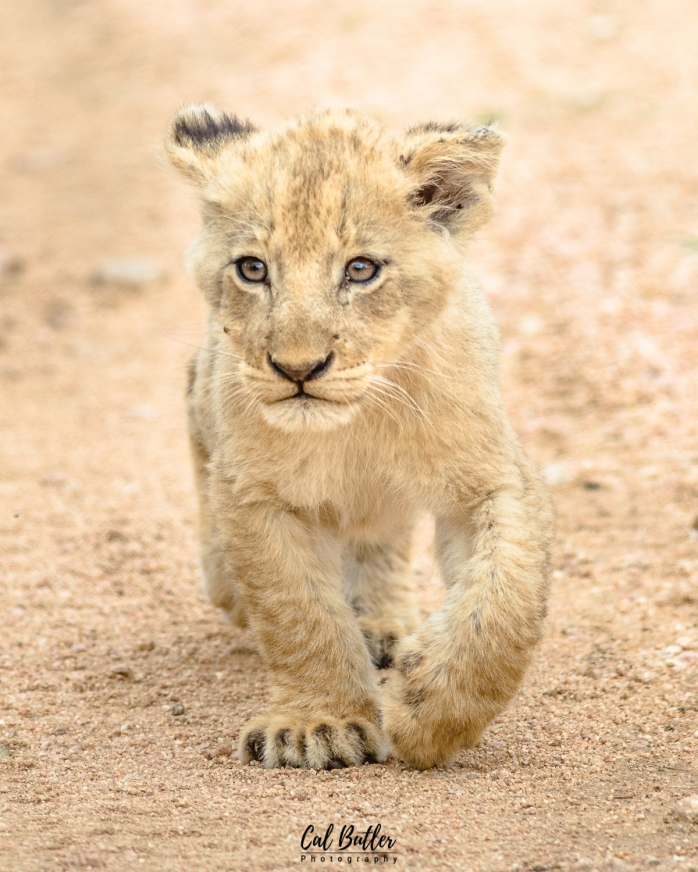 othawa cubs-2