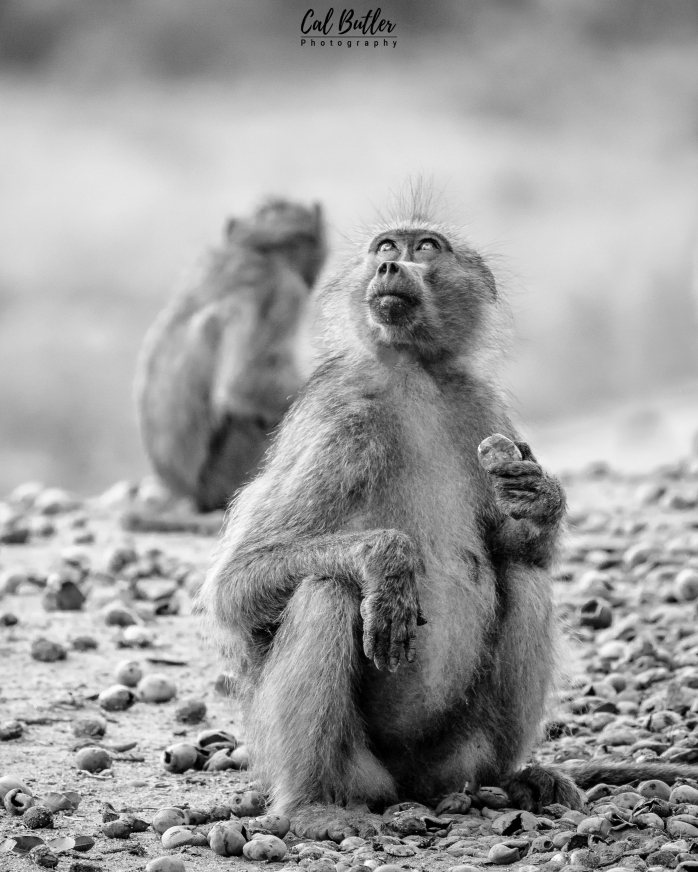 Baboons-5