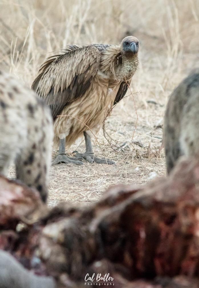 Hyenas on hippo carcass-2