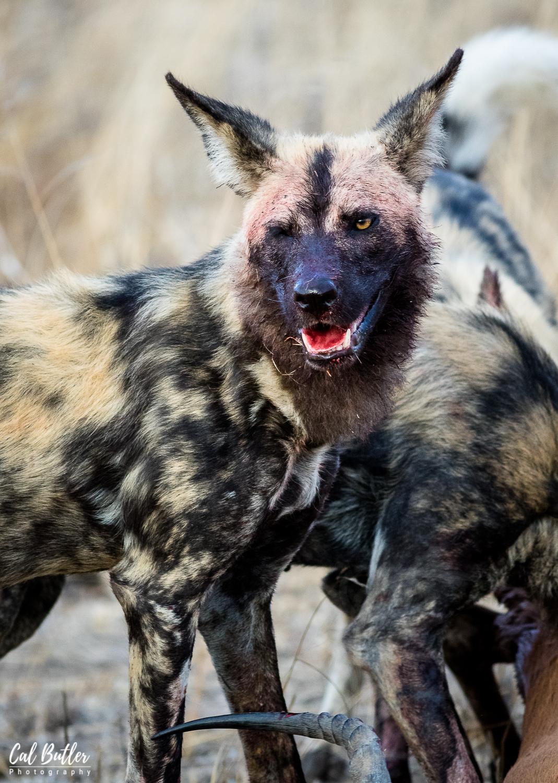 Wild Dogs-1