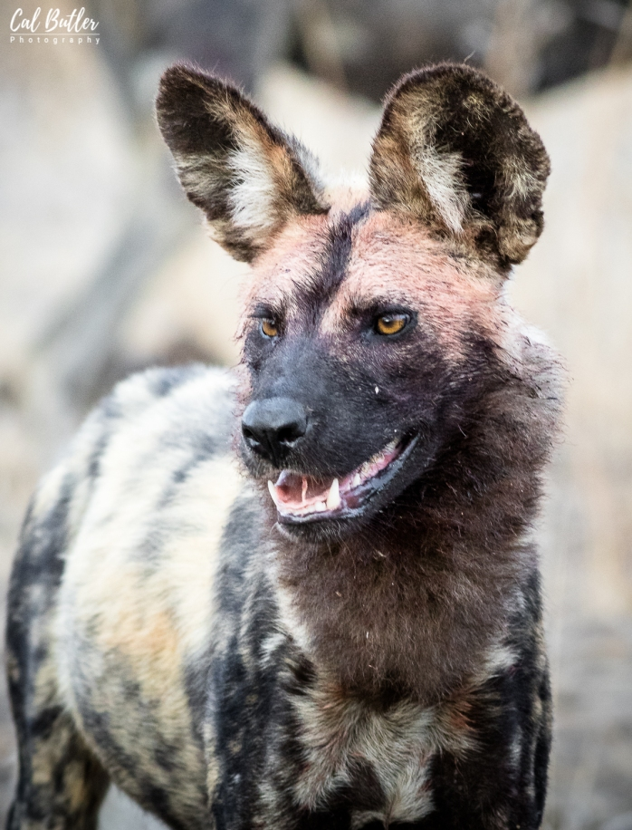 Wild Dogs-6
