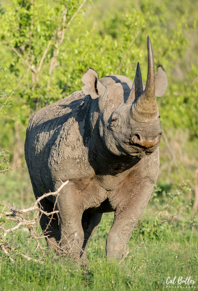 Black Rhino-1