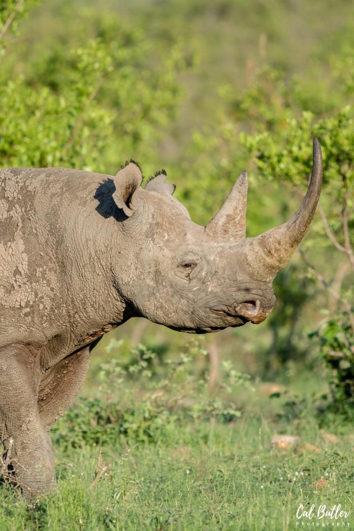 Black Rhino-2