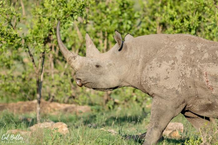 Black Rhino-4