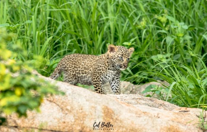 Basile Cubs-3