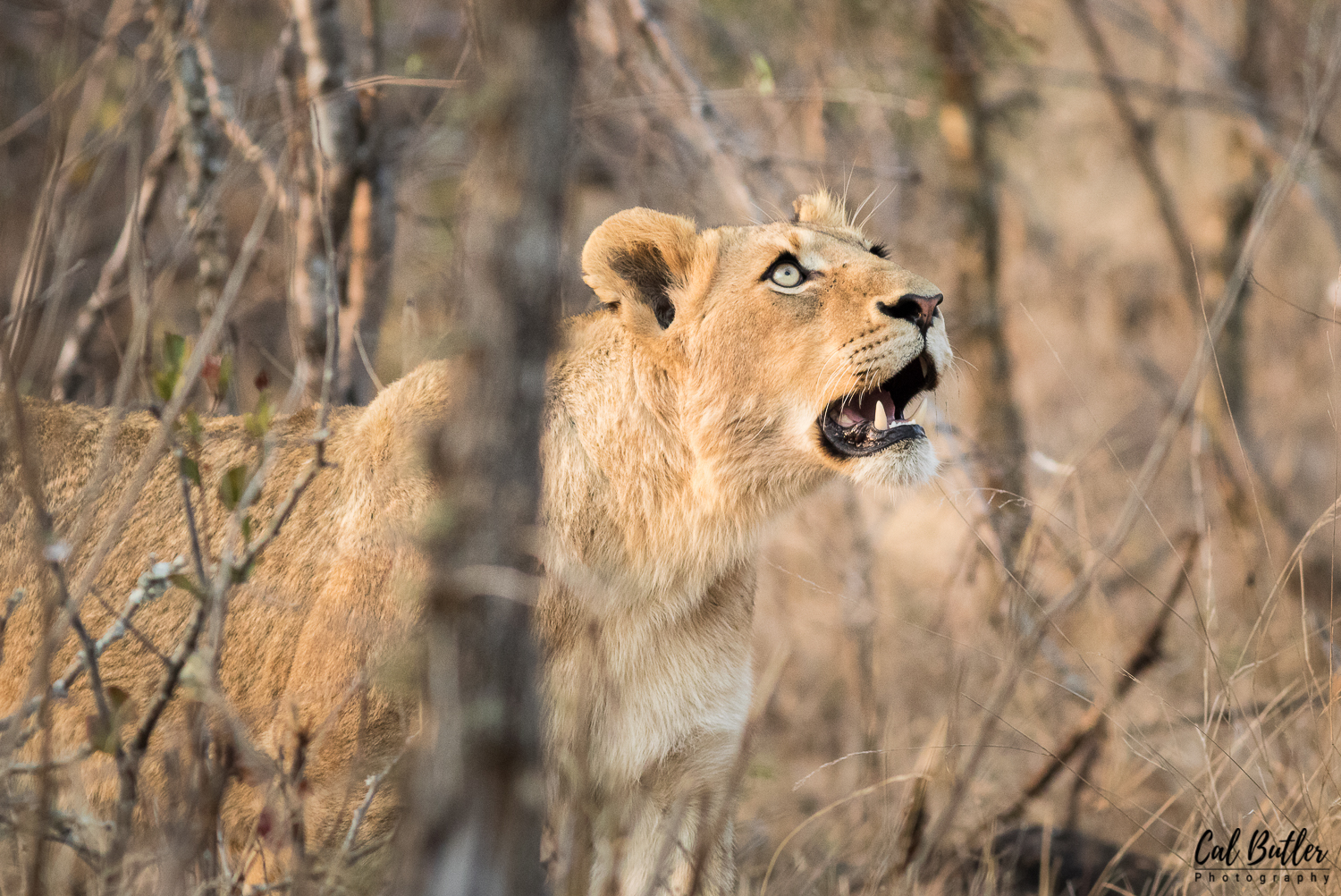 Lions and baboons-3