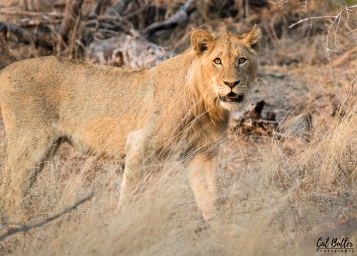 Lions and baboons-4