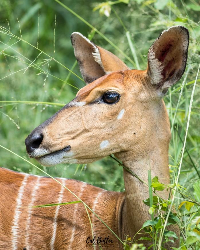 Female Nyala antelope