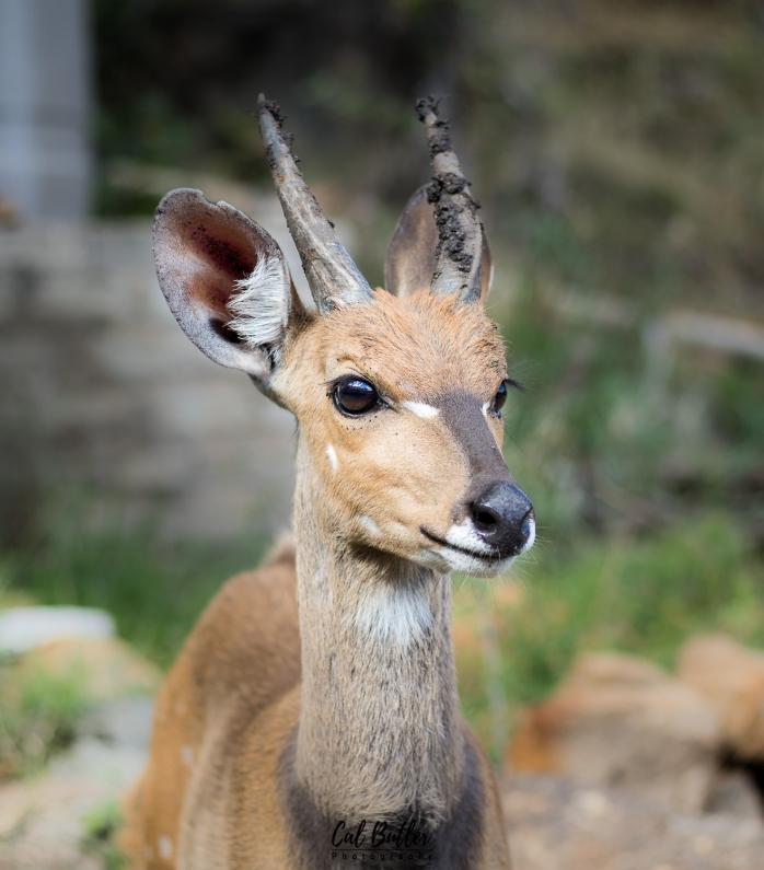 Male Bushbuck antelope