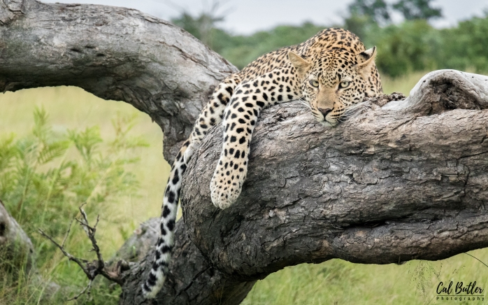 Female leopard resting on a tree trunk